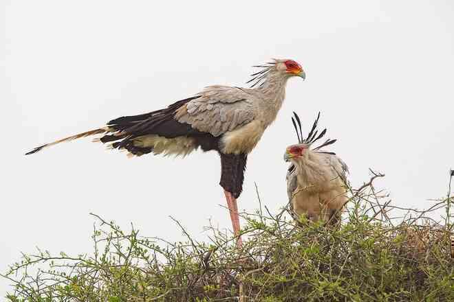 Diều ăn rắn là loài chim săn mồi lớn phân bố ở châu Phi.