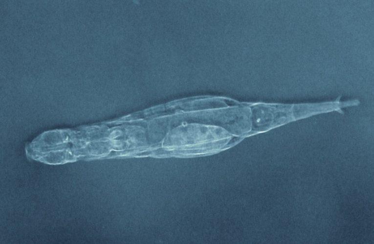 Luân trùng tiếng tục kêu la và sinh sản sau khi rã đông khỏi lớp băng vĩnh cửu?