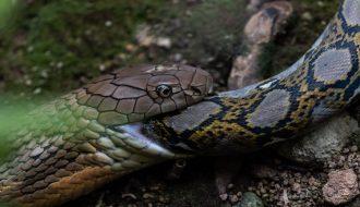 Sau cuộc đụng độ trăn gấm bị rắn hổ mang chúa nuốt chửng